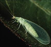 lacewing2