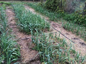 growing-garlic