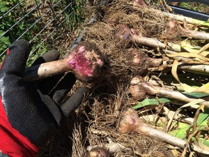 harvesting-garlic
